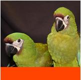 Birds: Parakeets, Cockatiels, Love Birds, Canaries