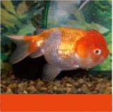 Freshwater and Tropical Fish: Goldfish, Peaceful Community