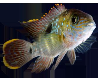 Aquatic freshwater fish for Tropical community fish