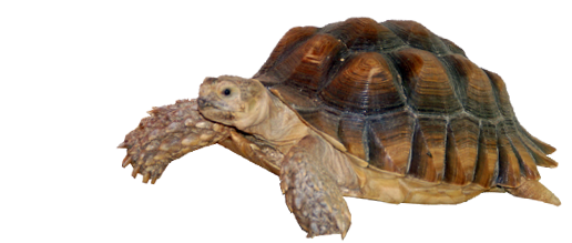About the 150lb African Spurred Tortoises, Sulcata